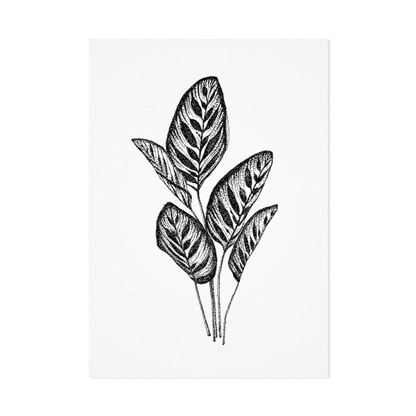 Calathea plant - Mélisse Prints - Illustraties en ansichtkaarten van dieren en planten, flora en fauna