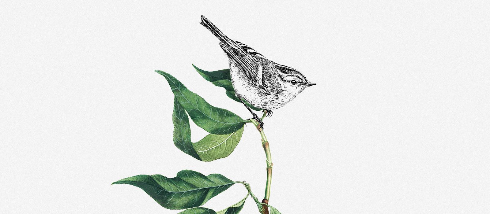 Boszanger – Mélisse Prints – Illustraties en ansichtkaarten van dieren en planten, flora en fauna
