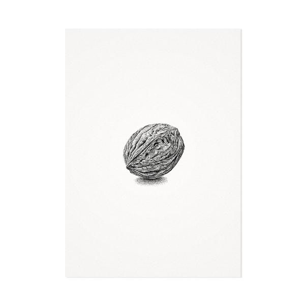 Walnoot – Mélisse Prints – Illustraties en ansichtkaarten van dieren en planten, flora en fauna